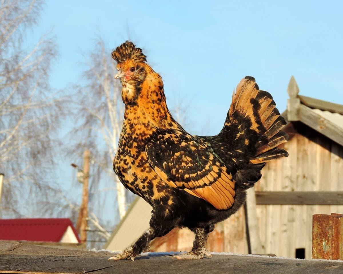 Павловская курица
