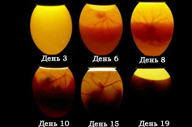 Как отобрать яйца для инкубатора?