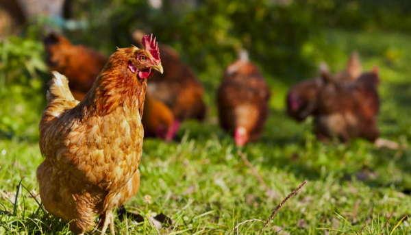 Курицы на травке
