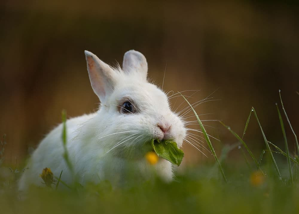 Что едят домашние декоративные кролики?