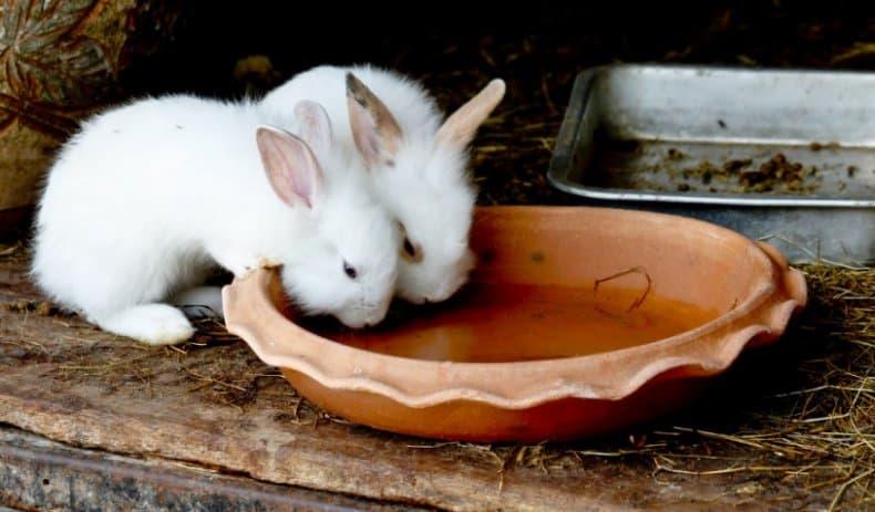 Кролики пьют йод
