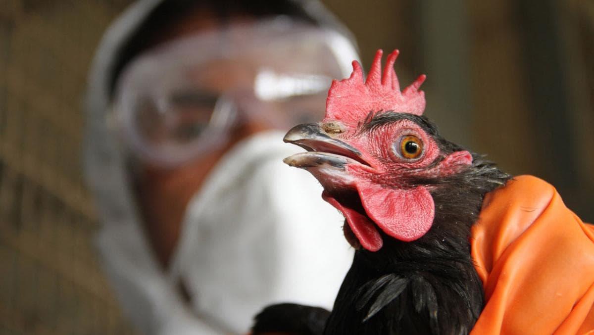 Курица с птичьим гриппом