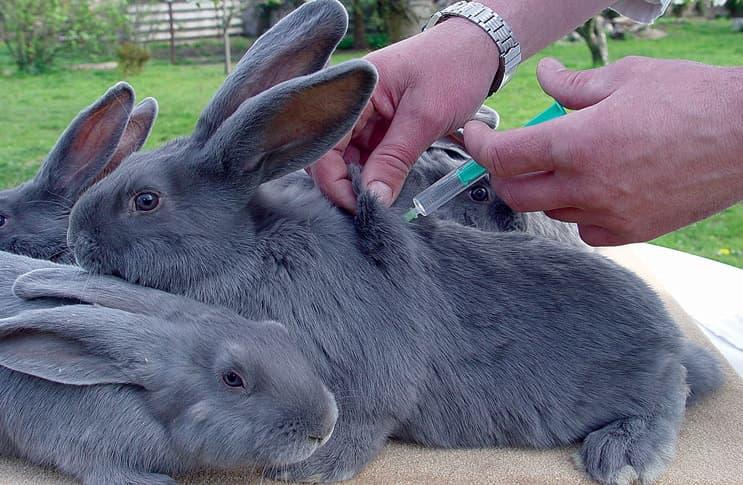 Прививка кроликам