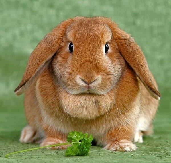 Порода кролика Вислоухий баран