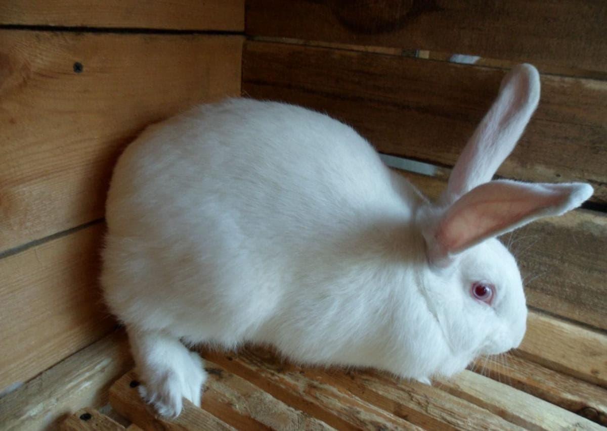 Как выращивать кроликов в домашних условиях на мясо?