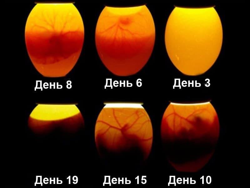 Овоскопирование куриных яиц по дням при инкубировании