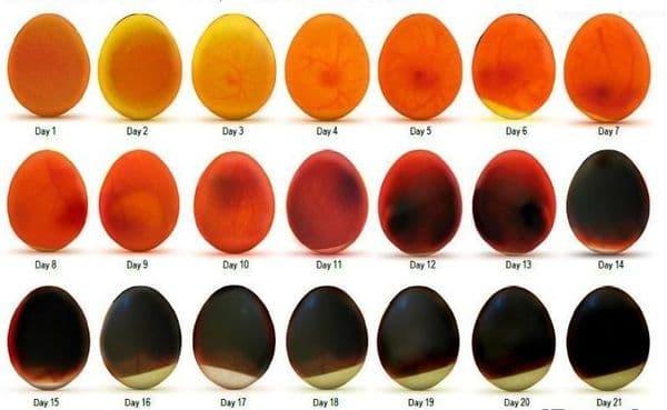 Овоскопирование гусиных яиц