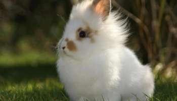 Декоративный кроли