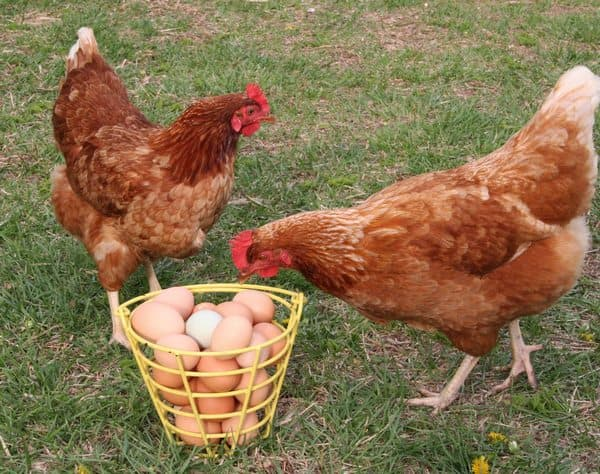 Куры и яйца