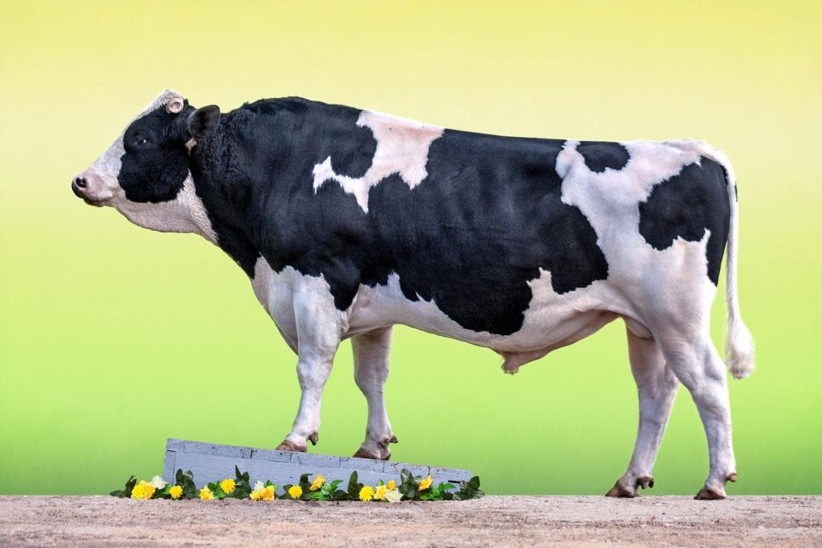 Голштино-фризская корова