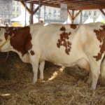 Монбельярдская корова