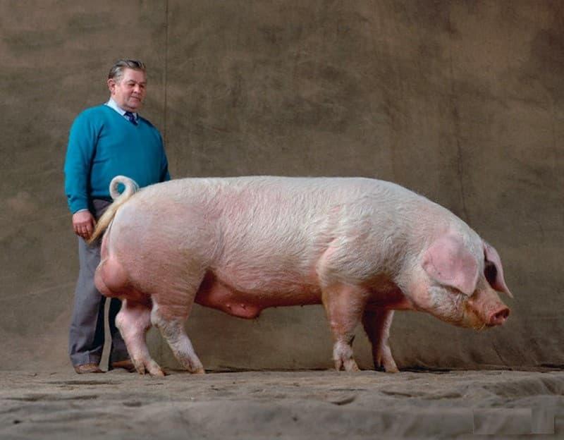 Порода свиней максгро