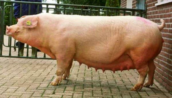 Уржумская свинья