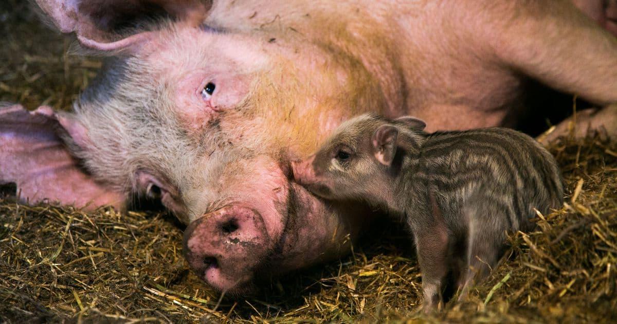 Свинья, зараженная африканской чумой