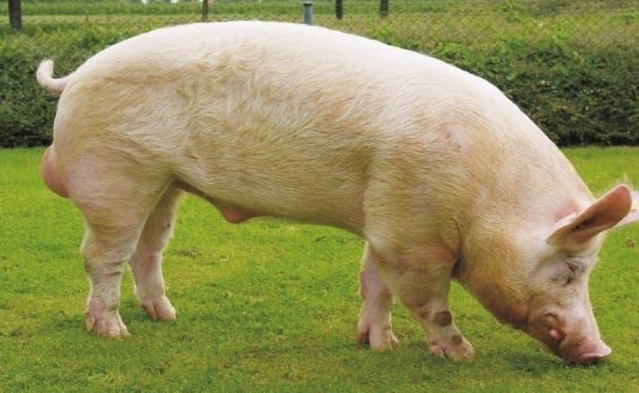 Белая степная свинья