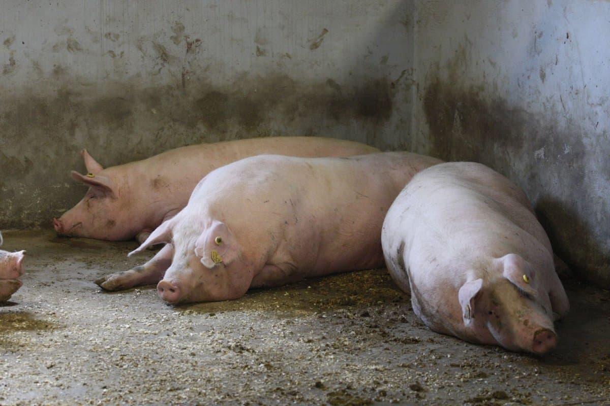 Свиньи, больные африканской чумой
