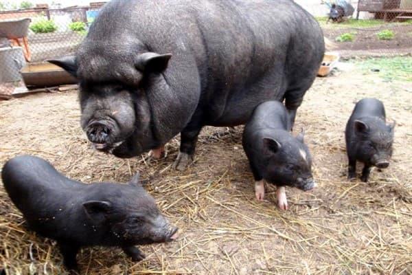 Вьетнамская свинья и поросята
