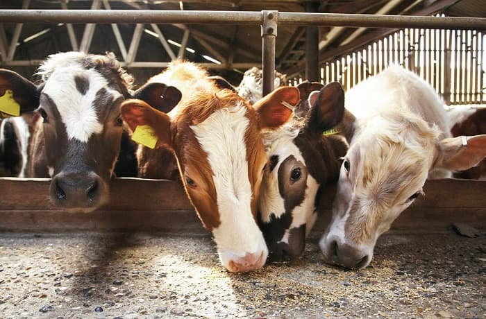 Питание коров и бычков