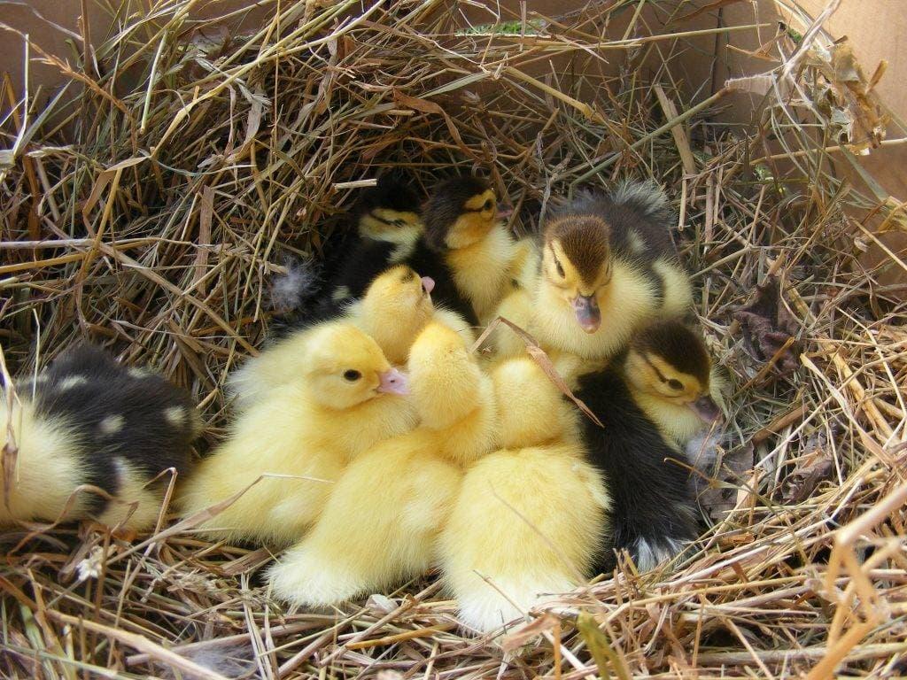 Гнездо для индоуток