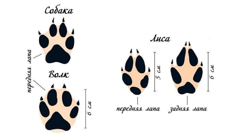 Следы собаки, волка и лисы