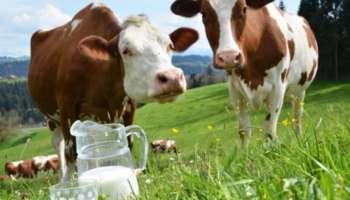 Коровы и молоко