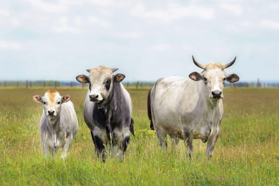 Гасконская корова