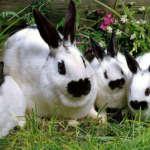 Кролики Бабочка
