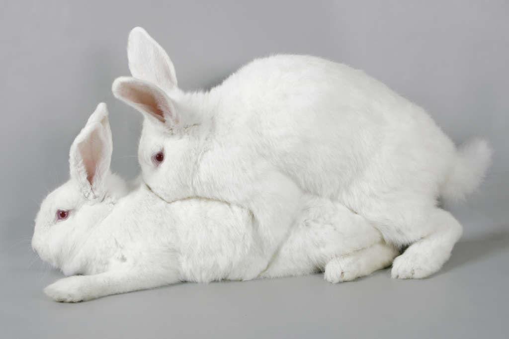 Спаривание кроликов картинки