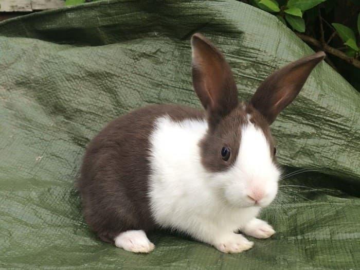 Голландский мини-кролик