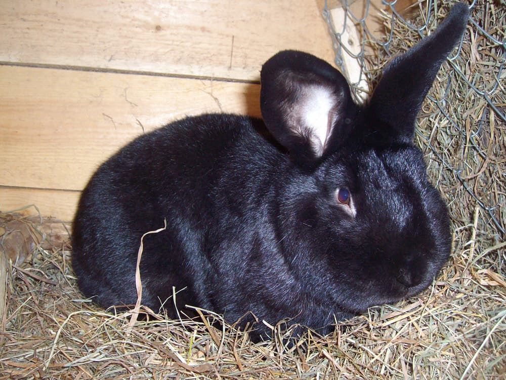 Венский черный кролик