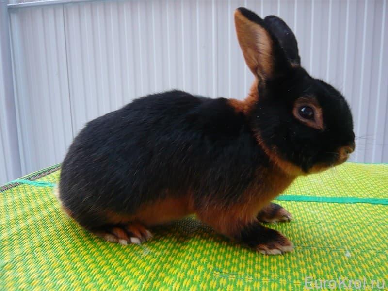 Черно-огненный кролик