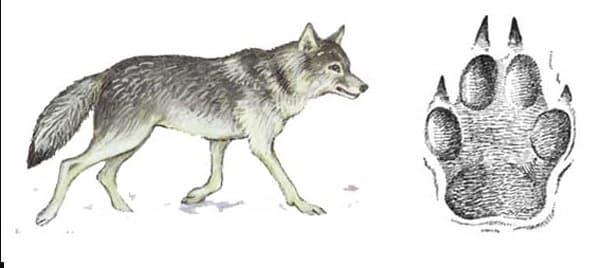 Следы волка