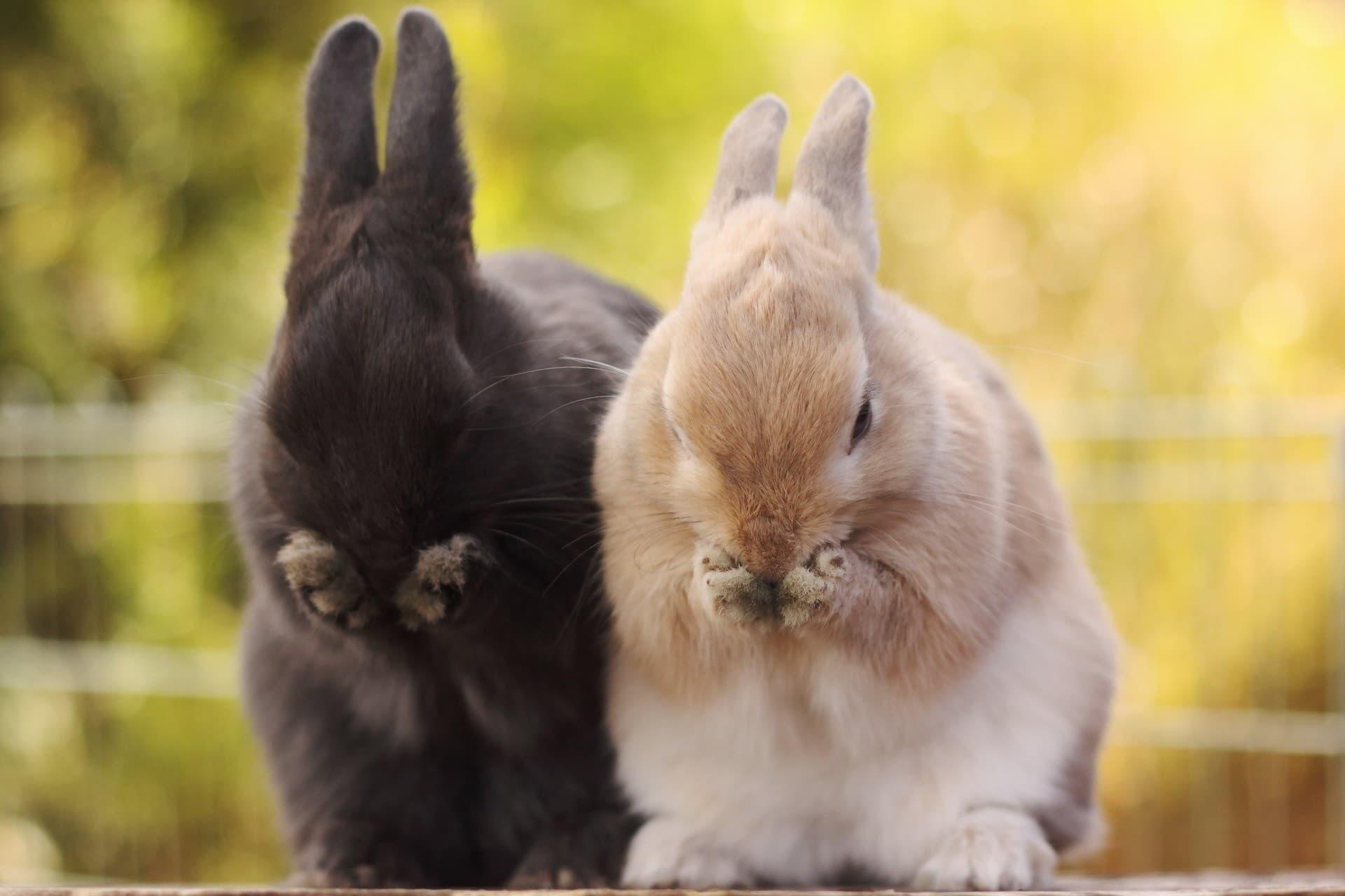 Чихают кролики