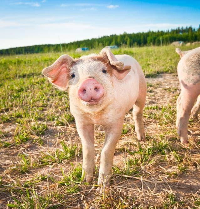 Молодая свинья Ландрас