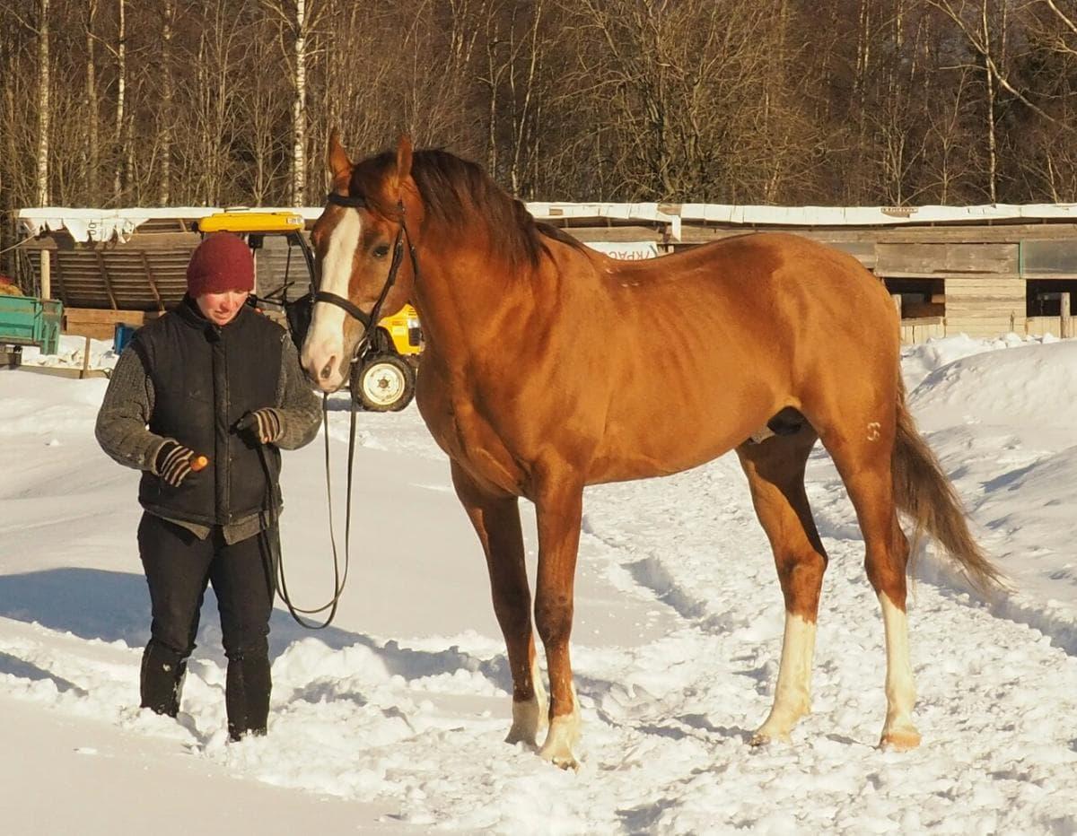 Лошадь Буденновская