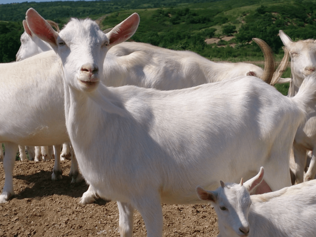 Порода козы Зааненская