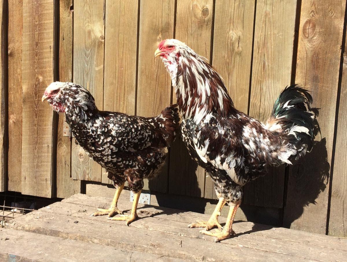 Курица и петух Орловских пород
