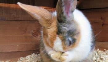 Чихает кролик