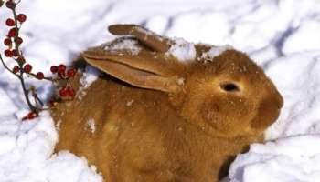 Кролик зимой