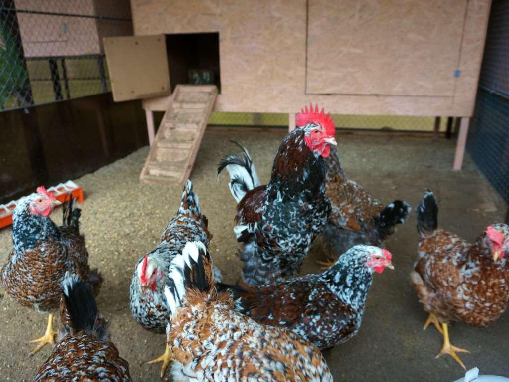 Ливенский петух и курицы