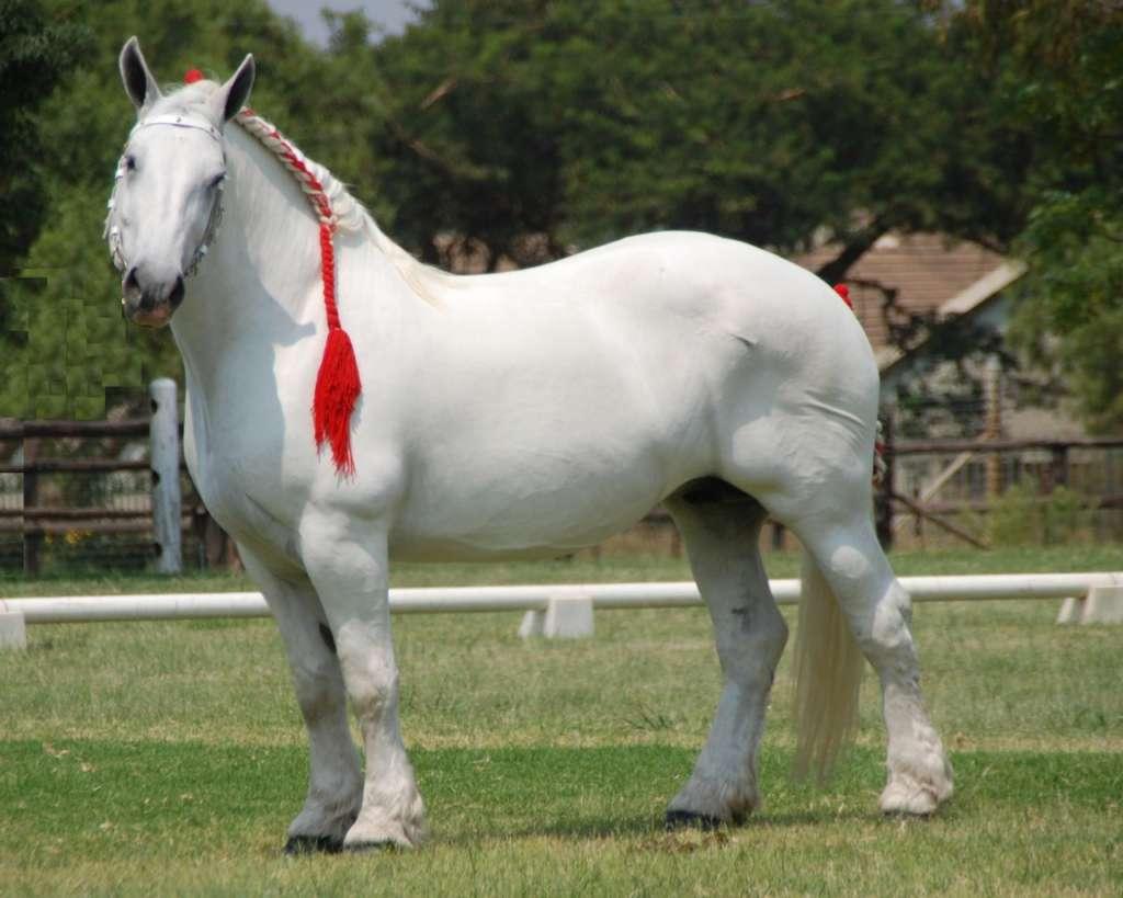 Порода лошади Першерон