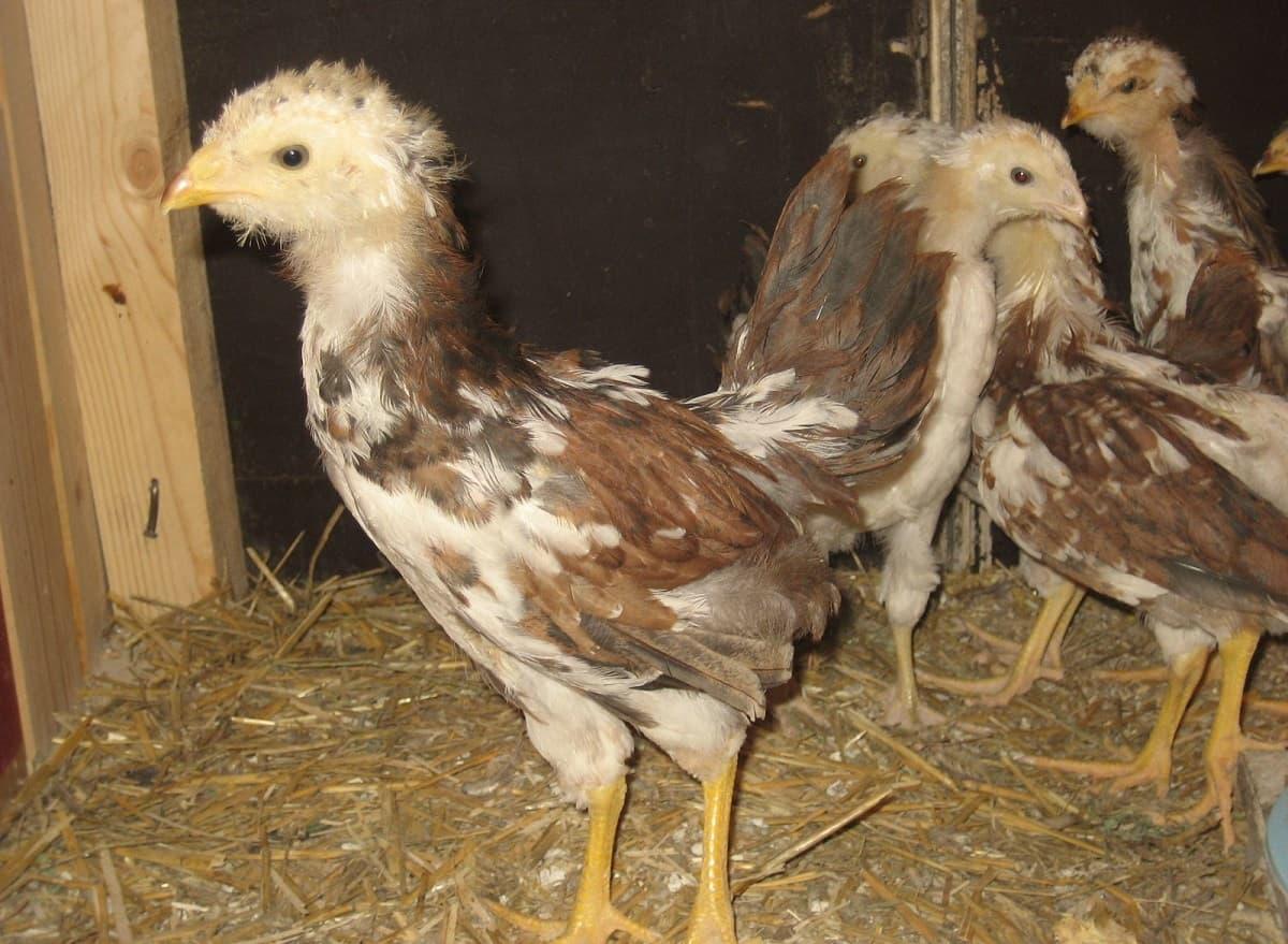 Цыплята Орловской породы