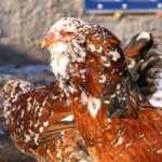 Орловская порода курицы