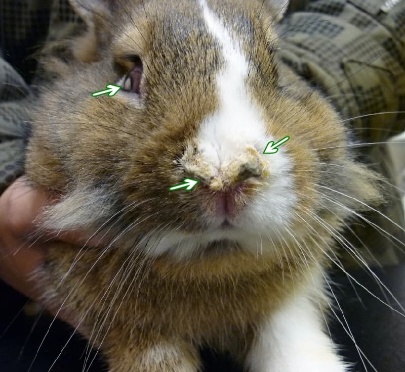 Почему кролик начал чихать и появился насморк?
