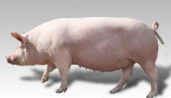 Крупная белая порода свиньи