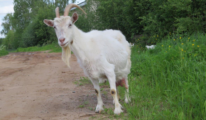 Горьковская порода козы