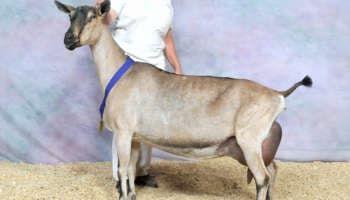 Молочная коза