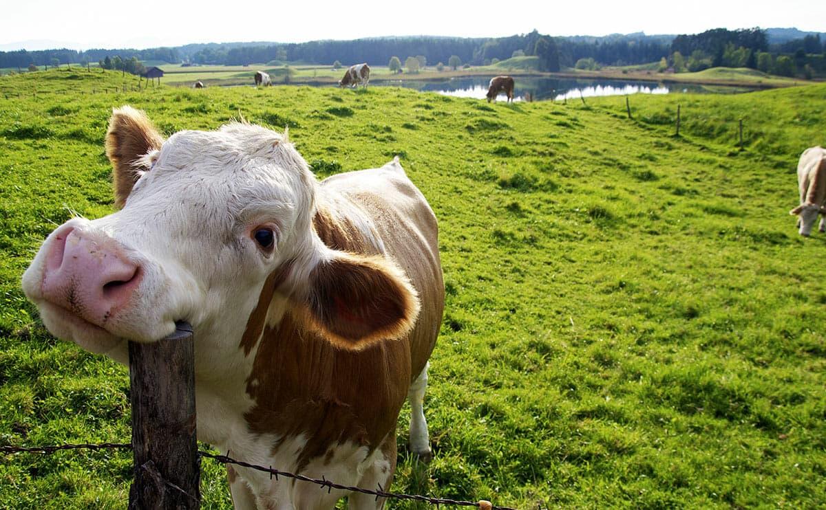 Корова прикольная картинки, мультимедиа
