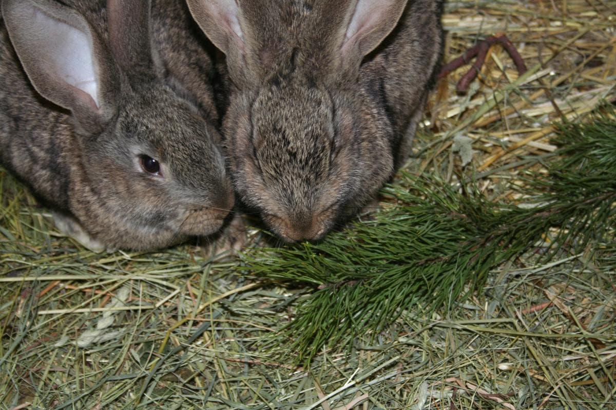 Кролики грызут веточки ели