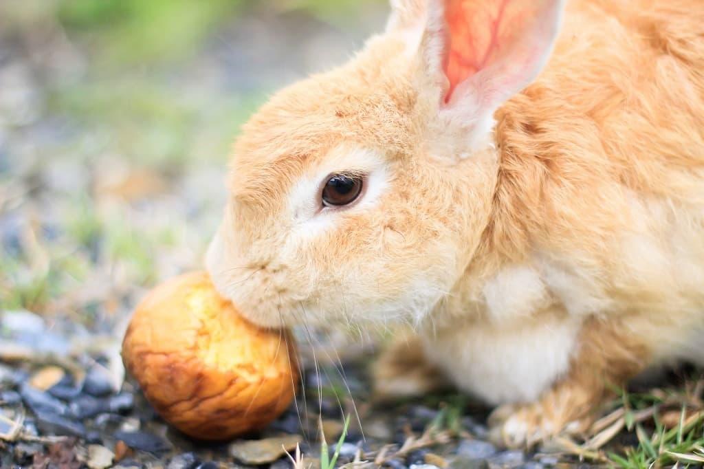 Кролик ест неспелое яблоко